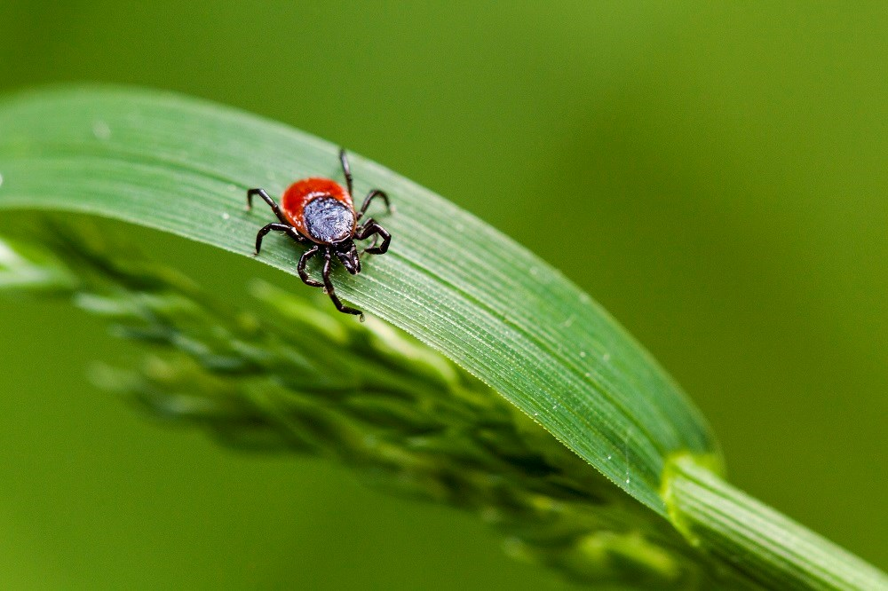 Lyme-Bearing Ticks More Widespread in US Than Thought